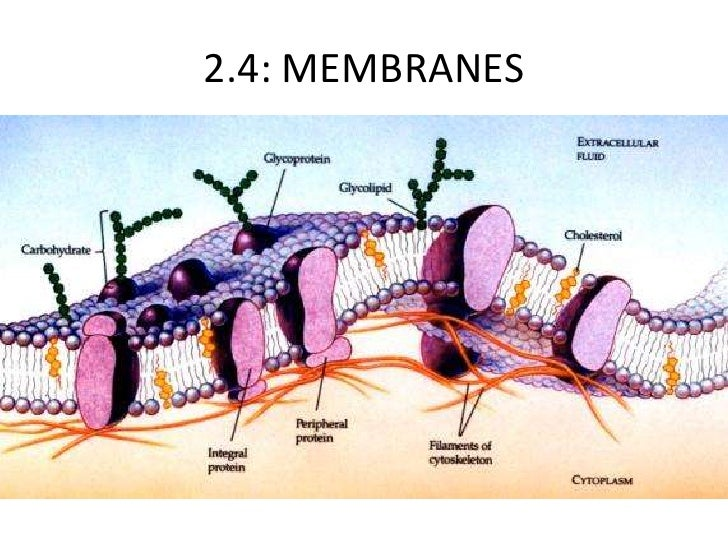 anatomy essay biology ap More anatomy essay samples, biology essay samples neurons, impulse and muscle fibers involved in lifting the leg – essay sample an action potential emanating from the central nervous system (brain) causes the alpha motor neuron to send out an action potential over the axon it possesses.