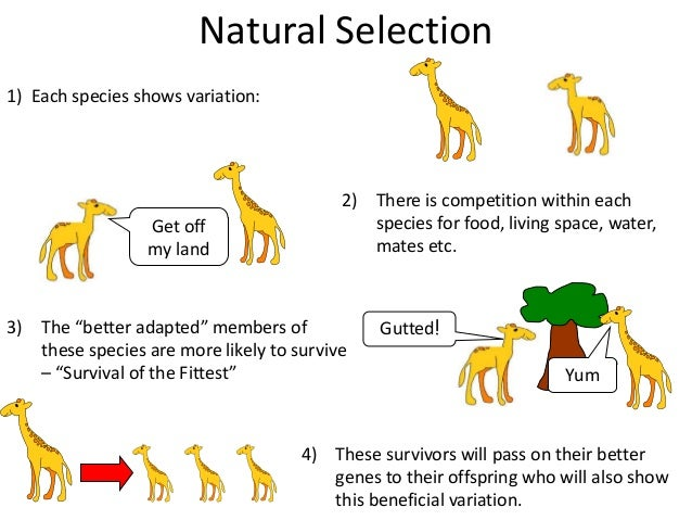 Explain The Process Of Natural Selection Evolution