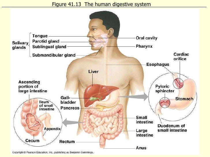Ib biology digestion figure 4113 the human digestive system ccuart Image collections