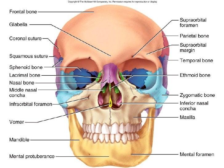 Diagram Of Cranial Bones Neck Wiring Diagram