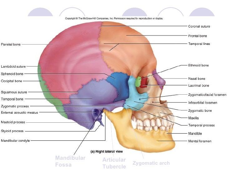 Topic 5 bone of skull neck