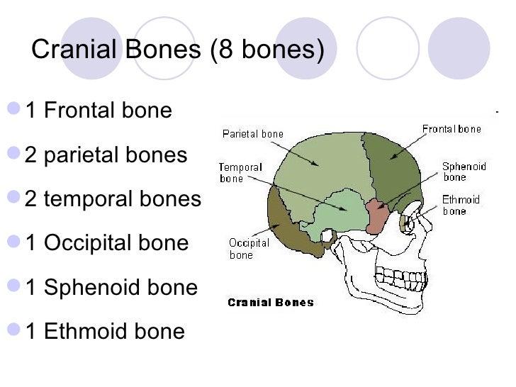 topic 5 bone of skull neck, Cephalic Vein