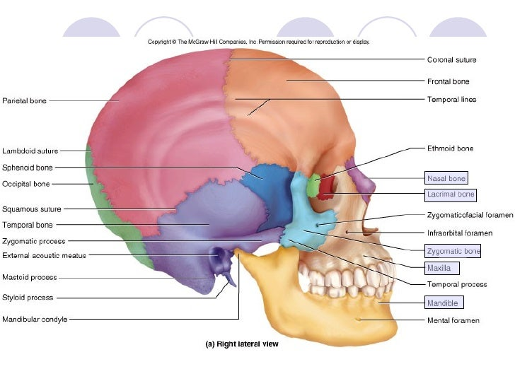 Topic 5 bone of skull neck