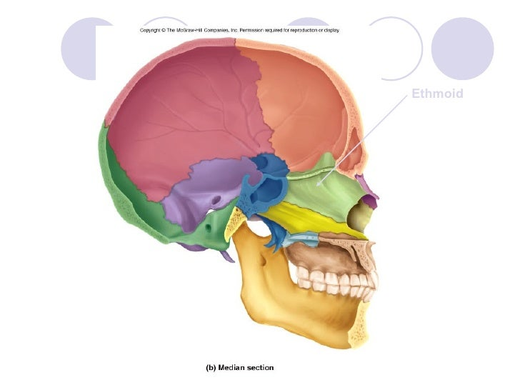 sphenoid bone what does it do – citybeauty, Human body