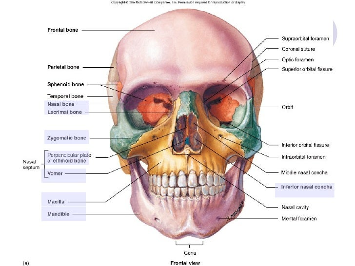 topic 5 bone of skull neck, Human Body