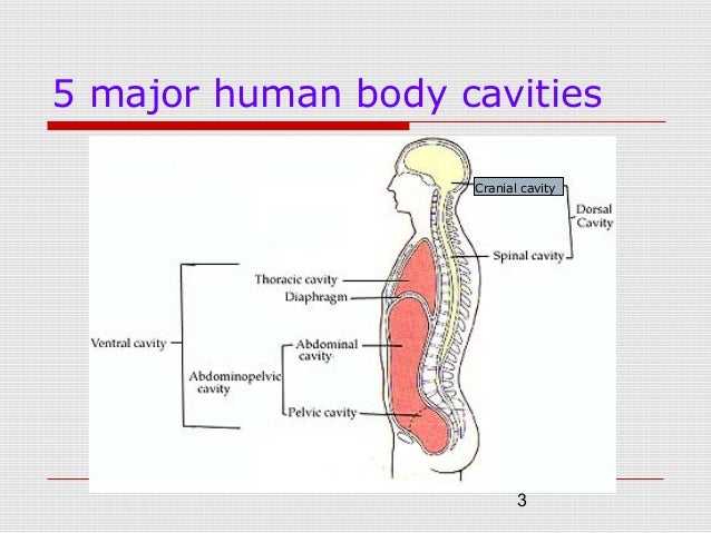 topic no.3 human body systems (dip) part 1, Muscles