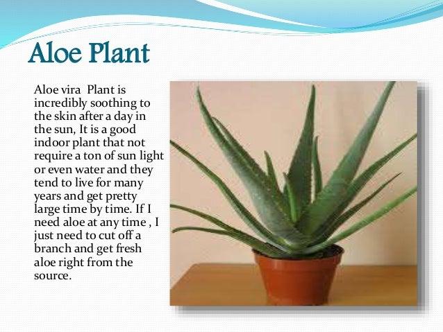 4 Aloe Plant