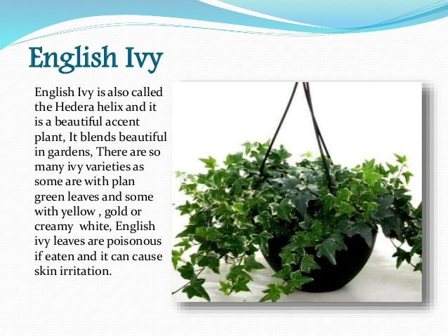 english ivy plant care. english. diy home plans database, Natural flower