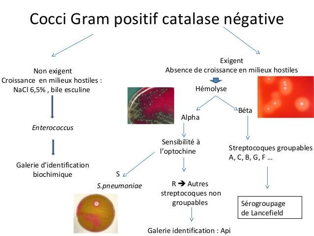 10 cocci gram positif - Coloration Gram Positif