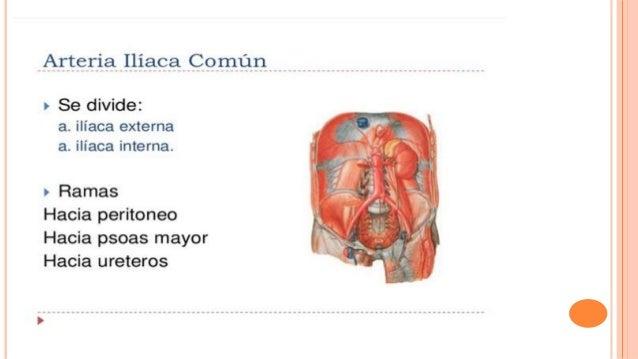Topografia abdominal anatomia