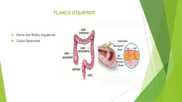 Topografia del abdomen anatomia ii