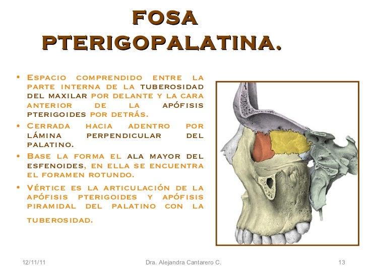 Lujoso Anatomía Pterigopalatino Fosa Adorno - Anatomía de Las ...