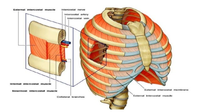 Topographical Anatomy of the Thorax