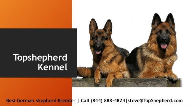 Pure German Shepherds Puppies In California Topshepherd Kennel