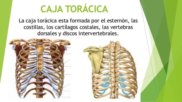 Torax - Anatomía de tórax