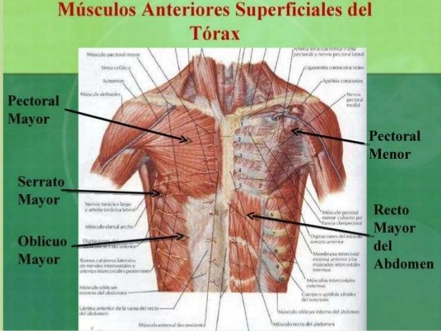 Estructura De Torax Oseó Musculos