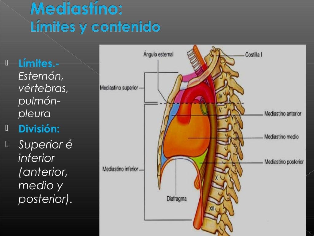 Famoso Anatomía Mediastino Superior Elaboración - Anatomía de Las ...
