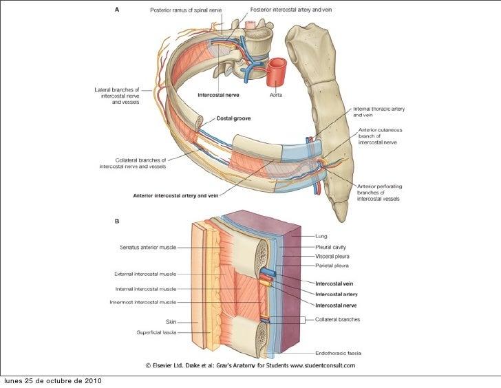 toraxa thorax rh slideshare net Calendario Octubre Octubre Clip Art