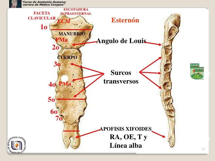 Torax esqueleto