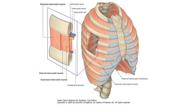 Anatomia: Tórax