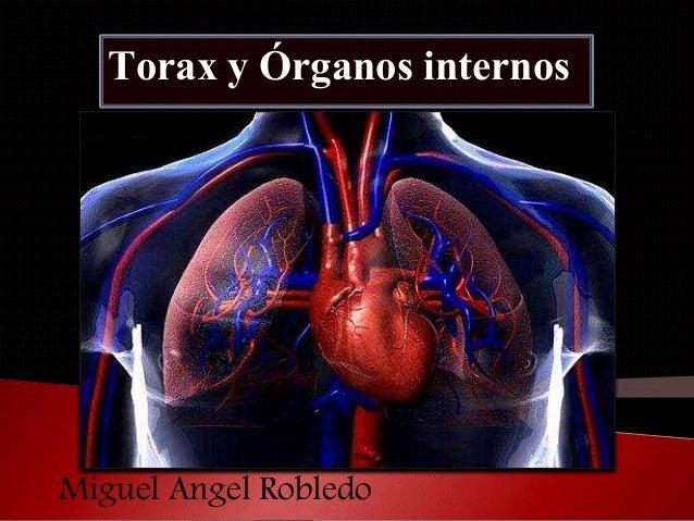 Torax y órganos internos.