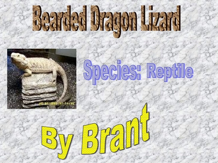 Bearded Dragon Lizard By Brant Species: Reptile