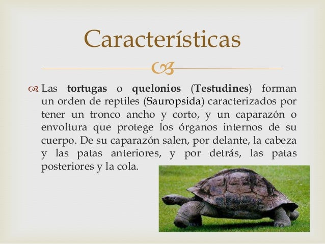 """testudines essay Powerful essays: turtles and humans: staying strong amidst tribulations in kay ryan's poem """"turtle"""" - turtles are reptiles of the order testudines."""