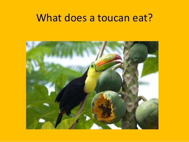 Rainforest Birds Flying Toucan facts