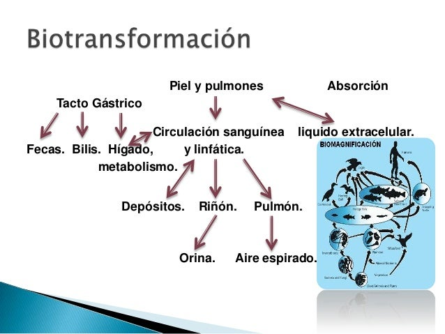Piel y pulmones            Absorción    Tacto Gástrico                     Circulación sanguínea   liquido extracelular.Fe...
