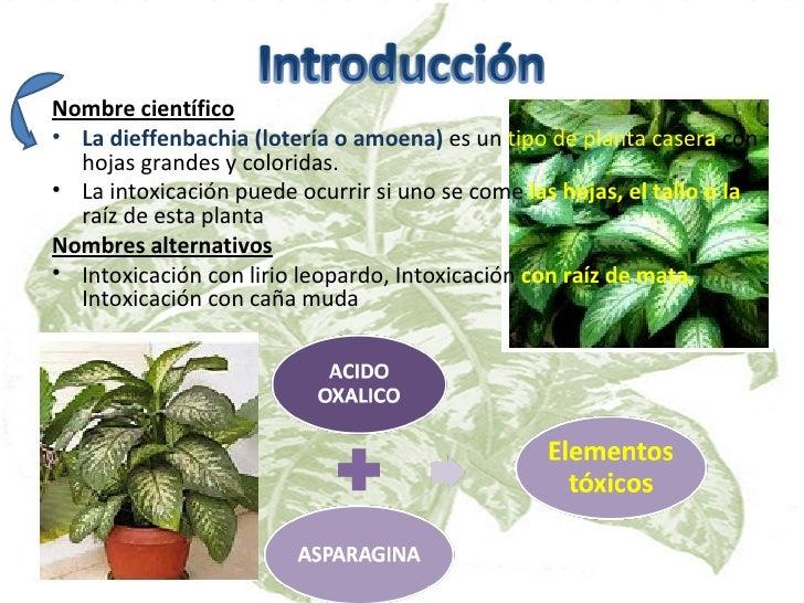 Intoxicacion por loteria dieffenbachia - Plantas venenosas de interior ...