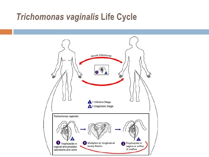trichomonas vaginalis локализация паразита в организме человека