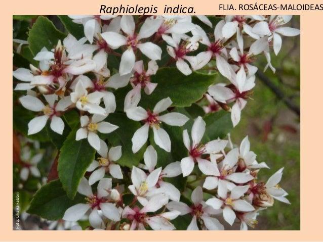 Raphiolepis indica. FLIA. ROSÁCEAS-MALOIDEAS Ovario ínfero 2 estilos libres Foto:LilianaFabbri