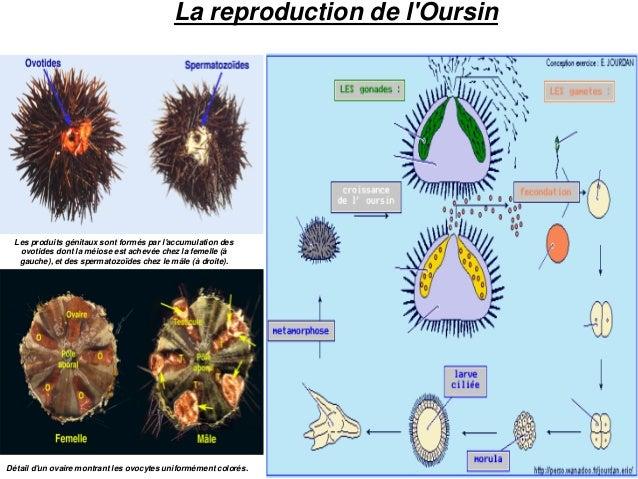 La reproduction de l'Oursin Détail d'un ovaire montrant les ovocytes uniformément colorés. Les produits génitaux sont form...