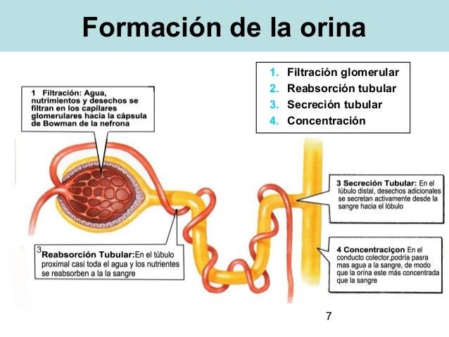 la creatina contiene esteroides