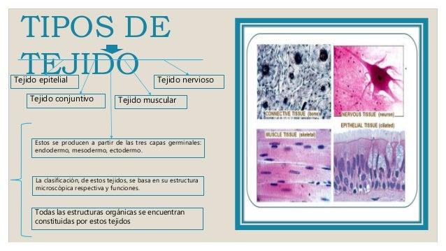 Tejido epitelial - Tipos de tejados ...