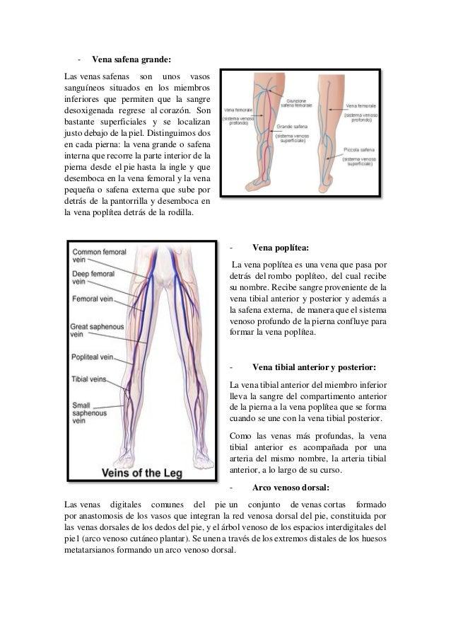 Hermosa La Pierna Anatomía Venosa Profunda Ornamento - Imágenes de ...