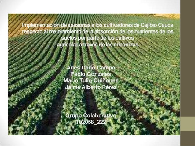 Implementación de asesorías a los cultivadores de Cajibío Caucarespecto al mejoramiento de la absorción de los nutrientes ...