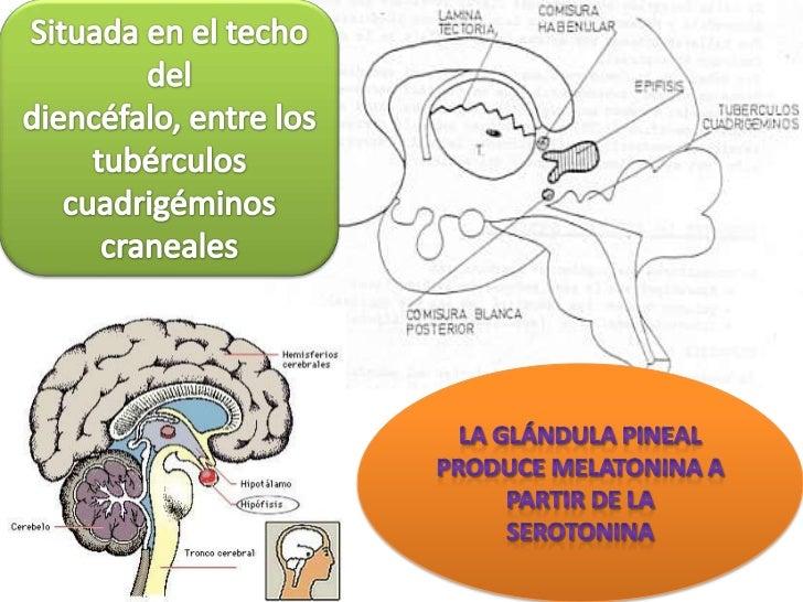 Situada en el techo del diencéfalo, entre los tubérculos cuadrigéminos craneales<br />la glándula pineal produce melatonin...