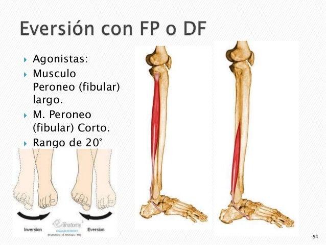 articulaciones y músculos agonistas