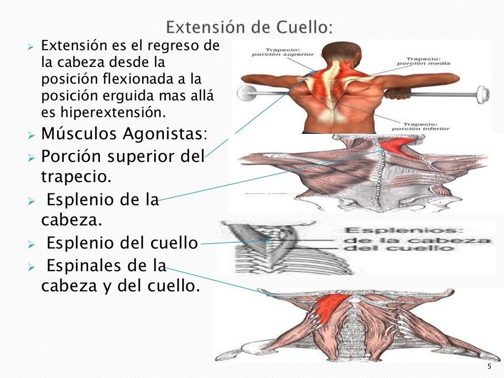 Excepcional Músculos Del Cuello Y Del Hombro Cresta - Imágenes de ...