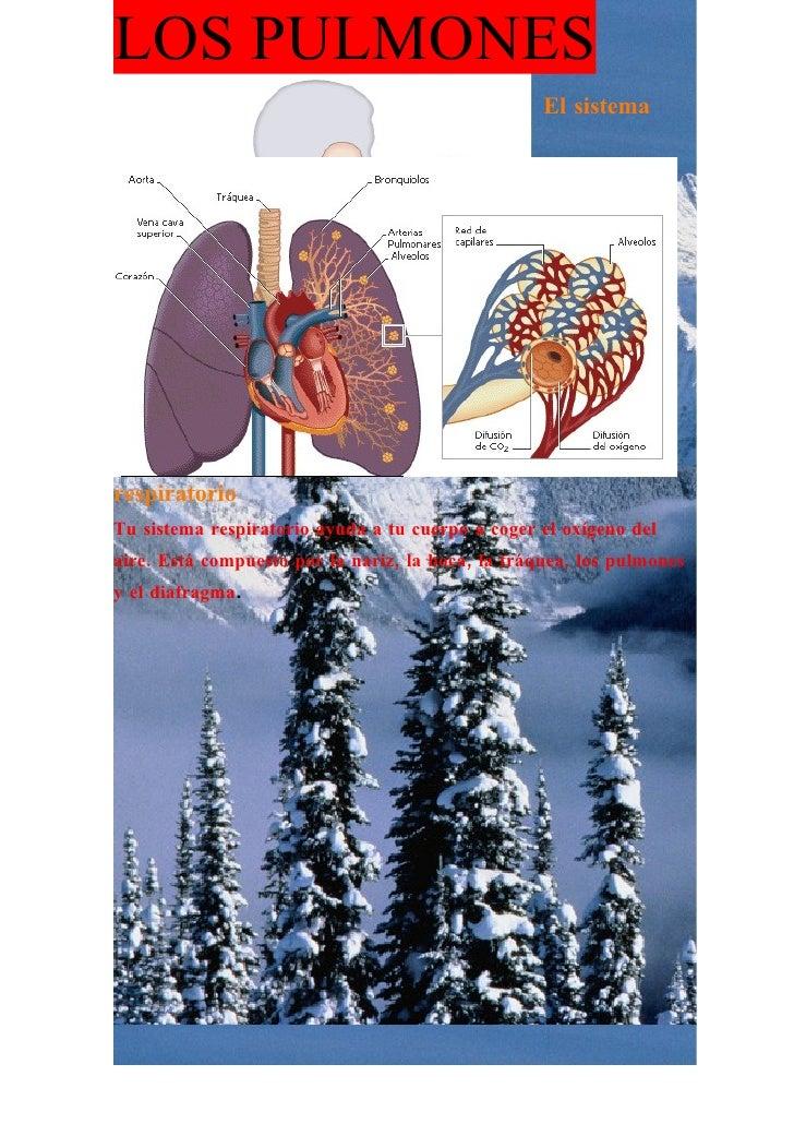LOS PULMONES                                                    El sistema     respiratorio Tu sistema respiratorio ayuda ...