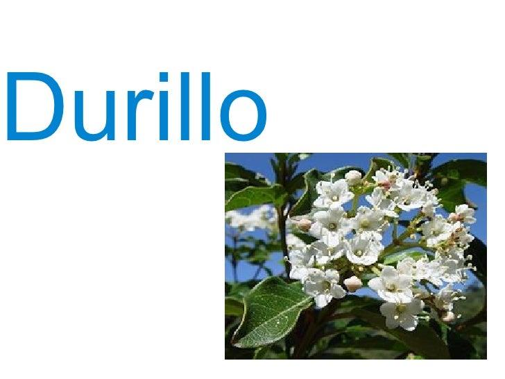Durillo