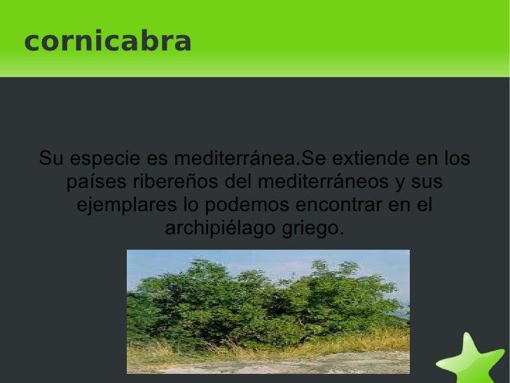 cornicabra    Su especie es mediterránea.Se extiende en los      países ribereños del mediterráneos y sus        ejemplare...