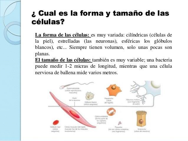 ¿ Cual es la forma y tamaño de lascélulas?La forma de las células: es muy variada: cilíndricas (células dela piel), estrel...