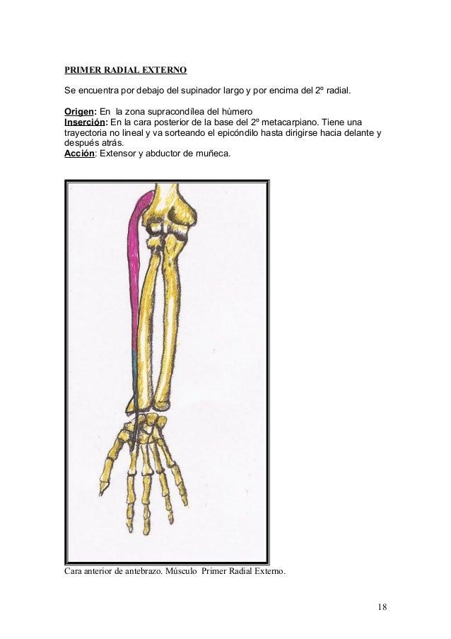 Lujo Mano Supinación Embellecimiento - Anatomía de Las Imágenesdel ...