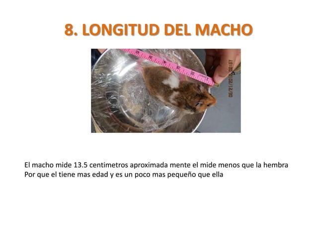 8. LONGITUD DEL MACHOEl macho mide 13.5 centimetros aproximada mente el mide menos que la hembraPor que el tiene mas edad ...