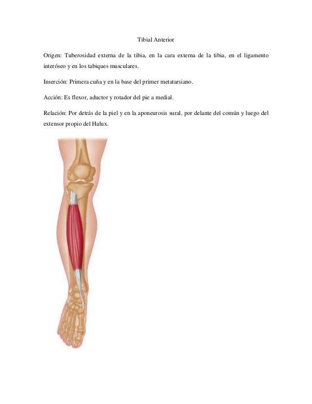 Músculos Miembro Inferior Anatomia