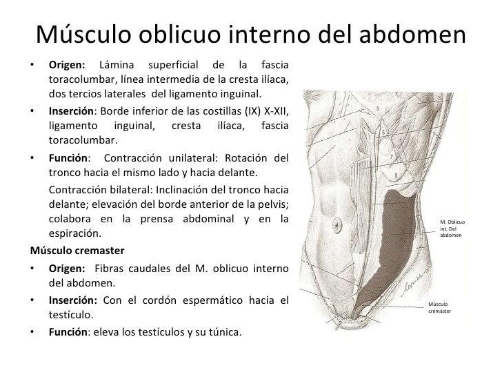funcion del musculo cremaster