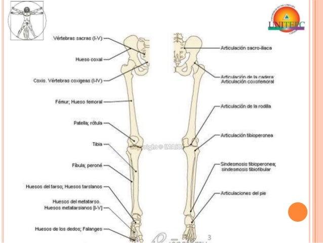 Anatomia - Membros Inferiores