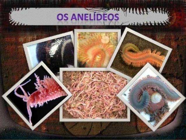 Os anelídeos são animais Pluricelulares, invertebrados de corpo alongado, segmentado e mole. O corpo dos anelídeos é comp...